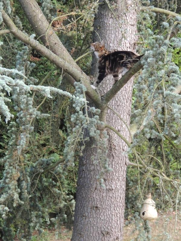 Le Maine Coon sur son arbre perché
