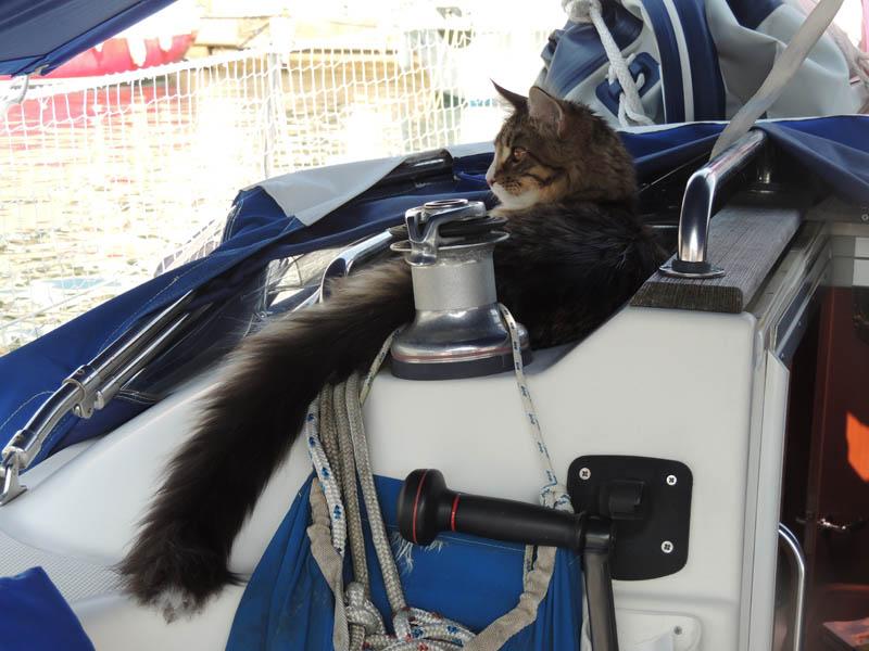 Maine Coon sur un voilier