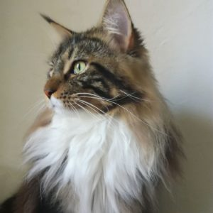 Chat mâle Maine Coon