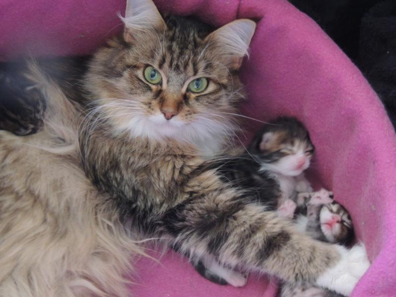 Mélusine qui couve ses précieux chatons